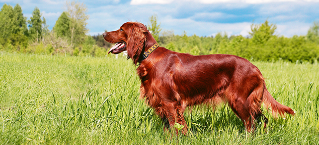 The Definitive Guide To Irish Setter Dogs