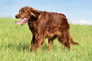 Irish Setter Dog Breeds