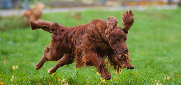Irish Setter Dog Exercise And Personality