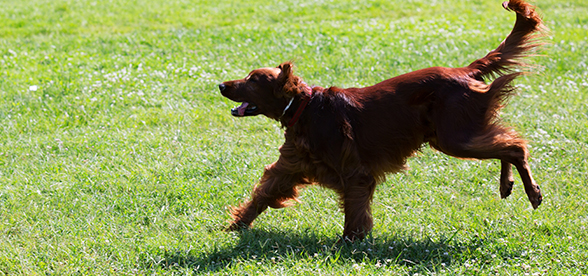 Irish Setter Dog Feeding And Diet