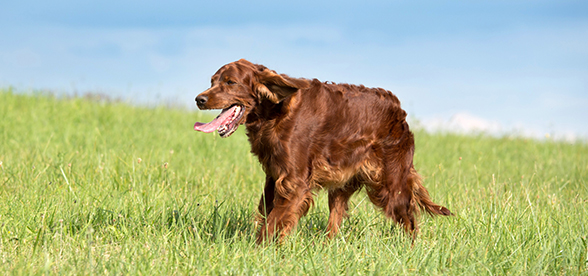 Irish Setter Dog Health Problems And Lifespan