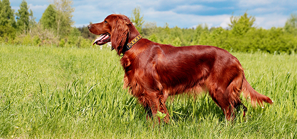Irish Setter Dog Origin And History