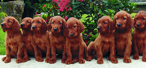 Irish Setter Dog Temperament And Training