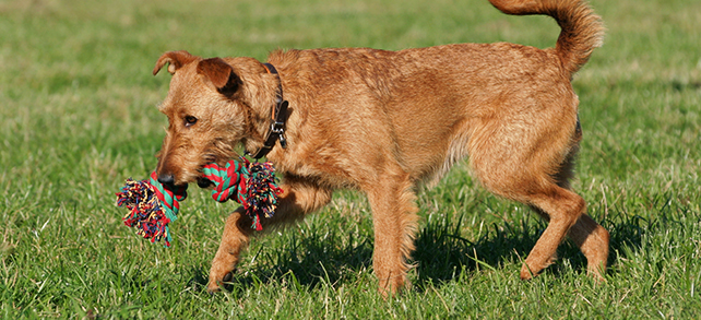 The Definitive Guide To Irish Terrier Dogs