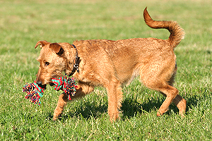 Irish Terrier Dog Breeds