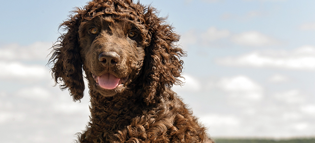 The Definitive Guide To Irish Water Spaniel Dogs