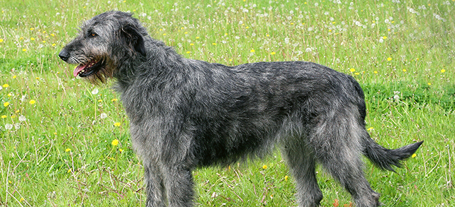 The Definitive Guide To Irish Wolfhound Dogs