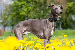 Italian Greyhound Dog Breeds