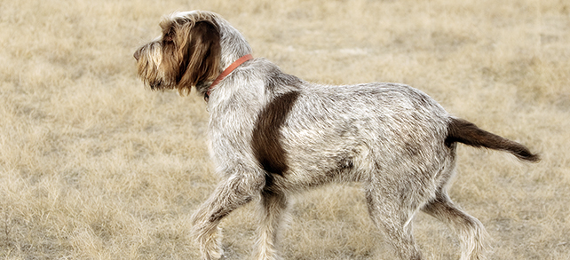 Italian Spinone Dog Breed