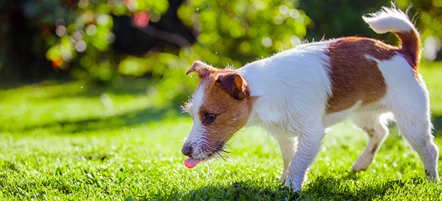 The Definitive Guide To Jack Russell Terrier Dogs
