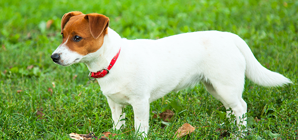Jack Russell Terrier Dog Exercise And Personality