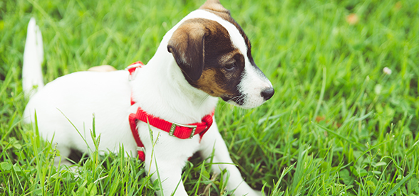 Jack Russell Terrier Dog Health Problems And Lifespan