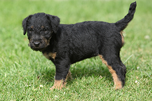 Jagdterrier Dog Breeds