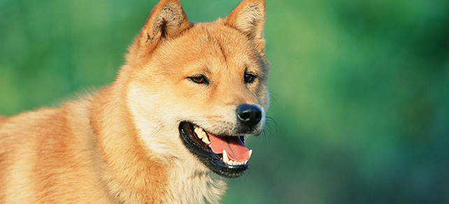 Jindo Dog Breed