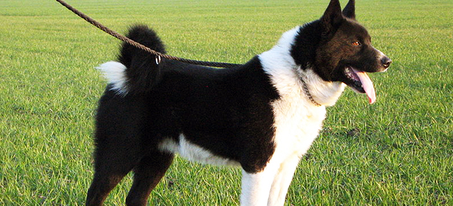 Karelian Bear Dog Breed