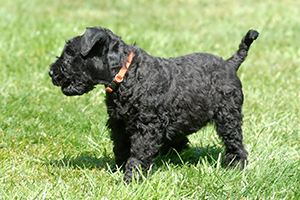 Kerry Blue Terrier Dog Breeds