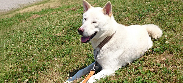 Kishu Dog Breed