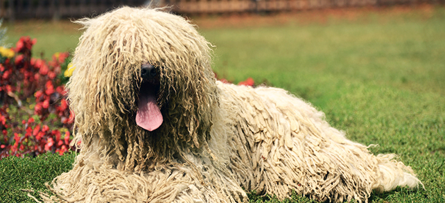 Komondor Dog Breed