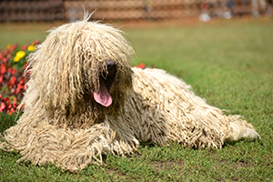 Komondor Dog Breeds