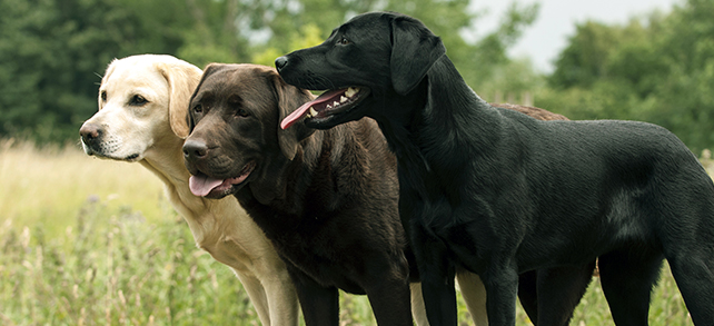 The Definitive Guide To Labrador Retriever Dogs