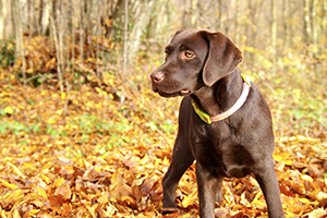 Labrador Retriever Dog Breeds