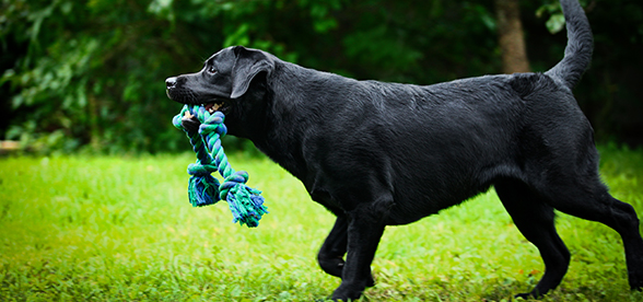 Best Dog Food For Overweight Lab