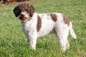 Lagotto Romagnolo Dog Breeds