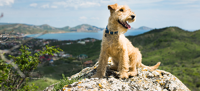The Definitive Guide To Lakeland Terrier Dogs