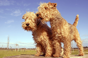 Lakeland Terrier Dog Breeds