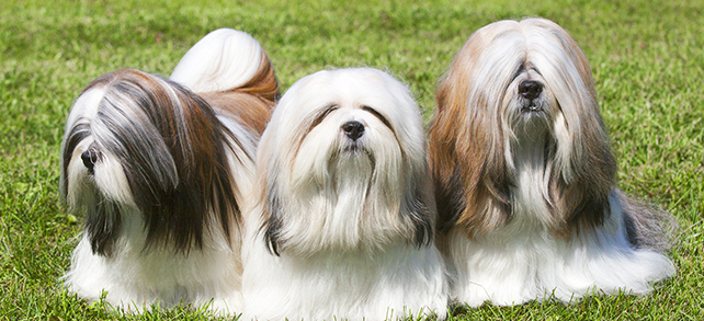 Ihasa Apso Dog Breed