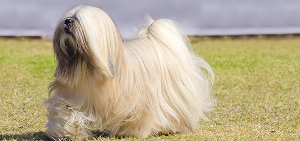 Lhasa Apso Dog Facts And Characteristics