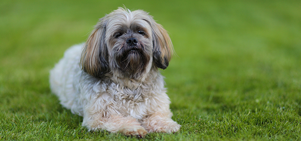 Lhasa Apso Dog Feeding And Diet