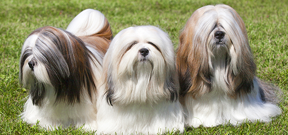 Lhasa Apso Dog Health Problems And Lifespan