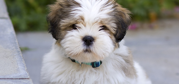 Lhasa Apso Dog Origin And History