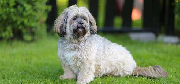 Lhasa Apso Dog Temperament And Training