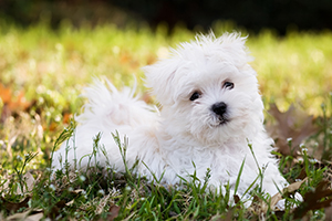 Maltese Dog Breeds