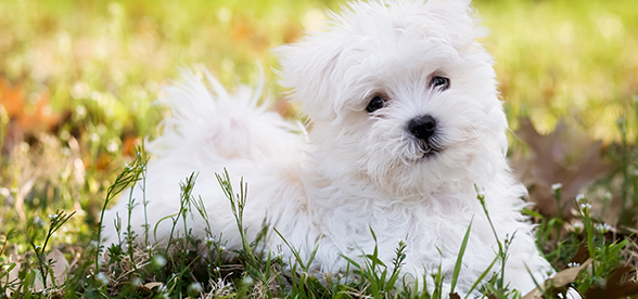 Maltese Dog Feeding And Diet