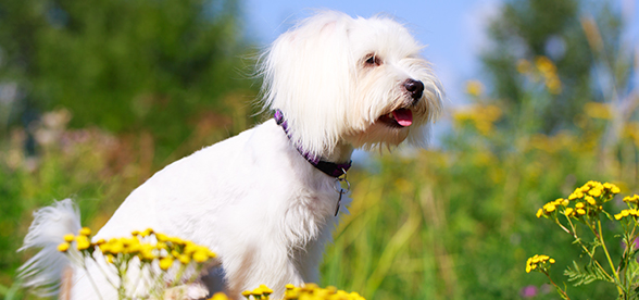 Maltese Dog Health Problems And Lifespan
