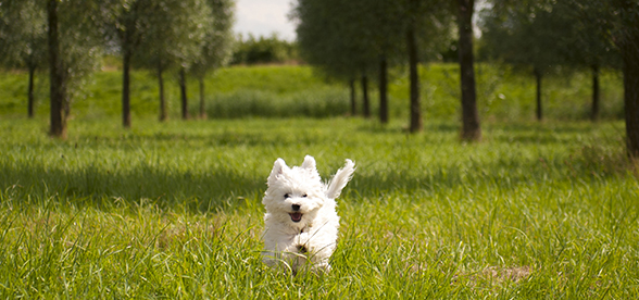 Maltese Dog Temperament And Training
