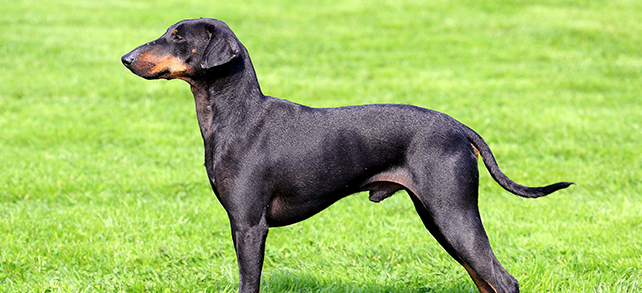 The Definitive Guide To Manchester Terrier Dogs