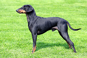 Manchester Terrier Dog Breeds