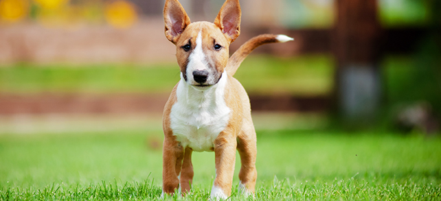 The Definitive Guide To Miniature Bull Terrier Dogs