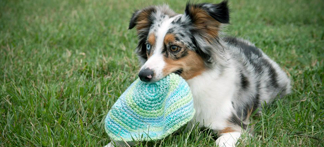 The Definitive Guide To Miniature American Shepherd Dogs