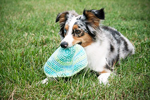 Miniature American Shepherd Dog Breeds