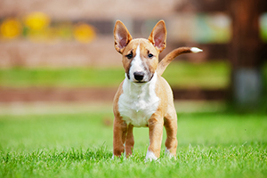 Miniature Bull Terrier Dog Breeds