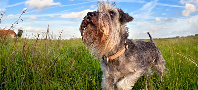 The Definitive Guide To Miniature Schnauzer Dogs