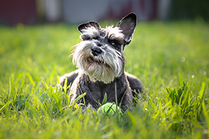 Miniature Schnauzer Dog Breeds