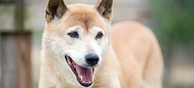 New Guinea Singing Dog Breed