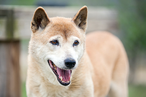 New Guinea Singing Dog Breeds