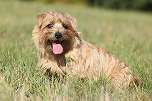 Norfolk Terrier Dog Breeds